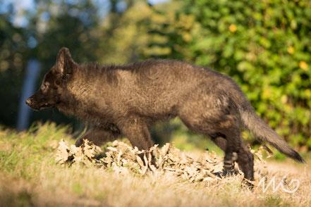 berger allemand noir loup