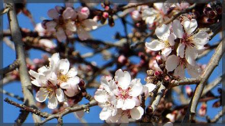 ...nur wenige Mandelblüten