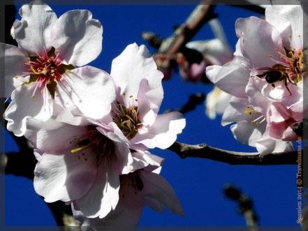 ...die ersten Mandelblüten! (an der 700)