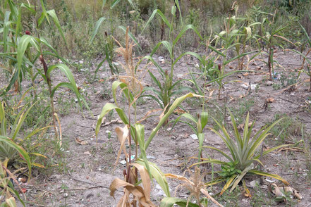 Hardly growing corn field owned by her foster family