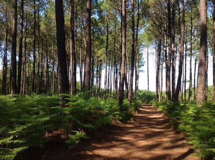 Sanguinet Forest