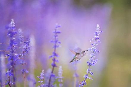 Krafttier Kolibri