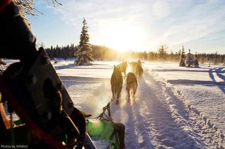 Hundeschlitten in Schweden