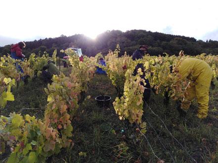 Côtes de Toul Vin L'Arbre Viké Jan Tailler Vendanges