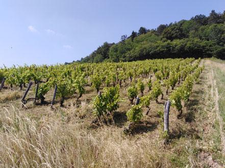 Côtes de Toul Vin L'Arbre Viké Jan Tailler