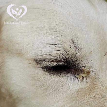 Bakterielle Bindehautenzündung bei Hund