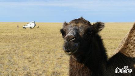 Quer durch Kasachstan, The Michaels, Kamele