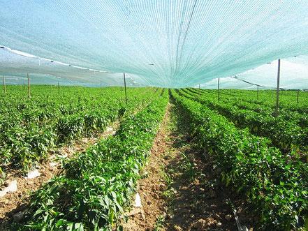 Culture des végétaux en surveillance ou en laboratoire avec la recherche agronomique - Agralis