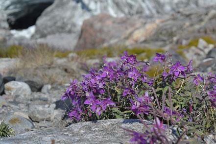 Arktische Blumen bringen etwas Farbe in die sonst eher karge Landschaft