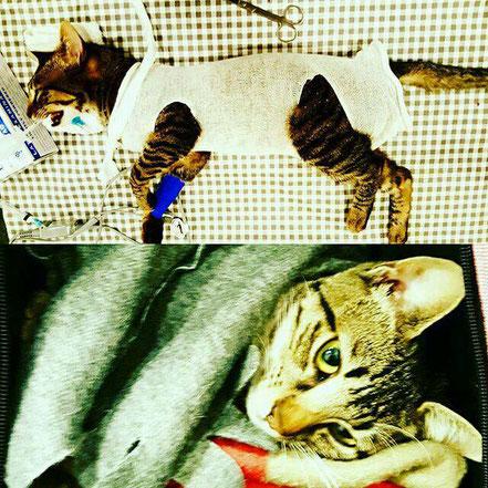 Esterilización de gata