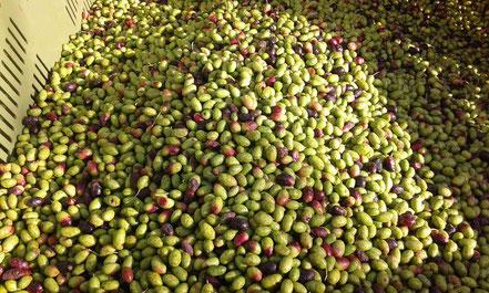 Olive Olio extravergine di oliva il secolare