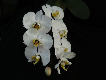 Phalaenopsis amabilis aurea
