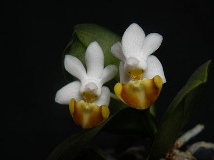 Phalaenopsis lobii