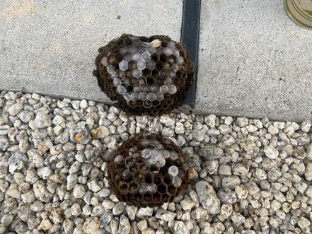 駆除した二つのアシナガバチの巣