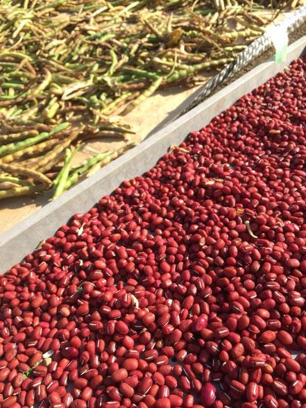 立派な自家栽培、自家採種の小豆!!お赤飯でいただいたら、格別な甘みでした。