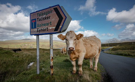 Kühe liegen einfach neben der Straße.... typisch Schottland