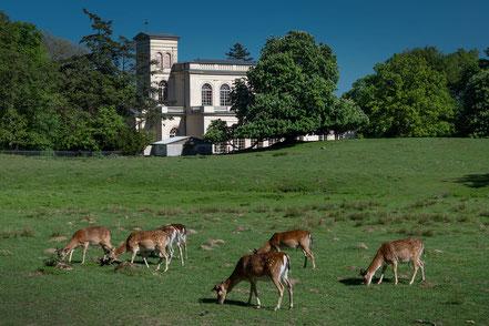 Damwild im Schlosspark Putbus