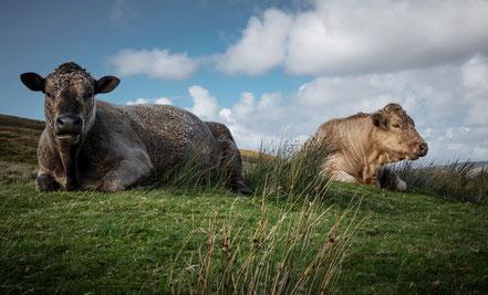 Kühe liegen einfach neben der Straße.... Schottland eben