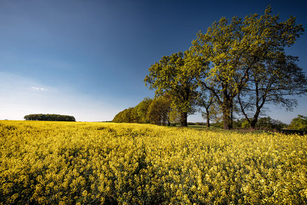 Zurück zur Natur, malerisches Rapsfeld