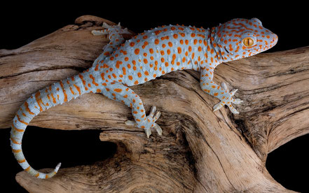 © 2012 wallpaperswiki.com. Quelle: http://wallpaperswiki.com/tokay-gecko-on-log/