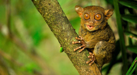 © 2010 Peter Slavik. Quelle: http://discovermagazine.com/2012/nov/03-silent-screech-of-the-tarsier