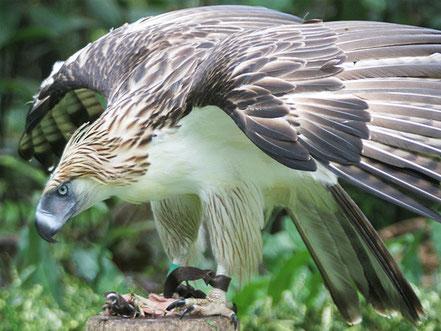 © 2011-2014 Konica Minolta, Inc.. Quelle: http://www.konicaminolta.com/ kids/endangered_animals/library/sky/philippine-eagle.html