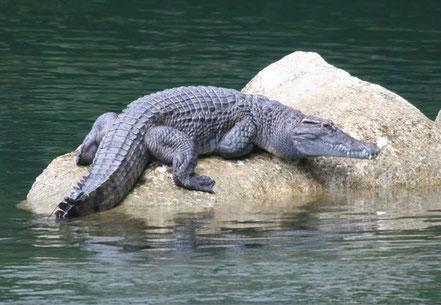 © Daniel Mietchen. CC BY 3.0. Quelle: http://de.wikipedia.org/wiki/Philippinen-Krokodil