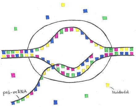 Abb. 2: Transkription - Entstehung der prä-mRNA