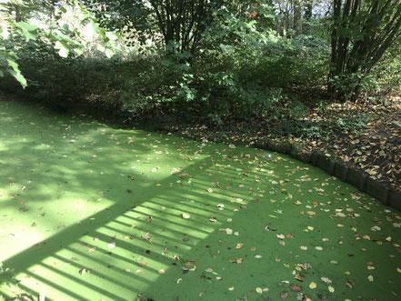 Ein grüner Teppich bedeckt den Wolfskuhlensee