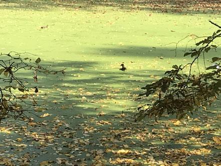 Im Wolfskuhlensee haben Enten ihre Heimat gefunden