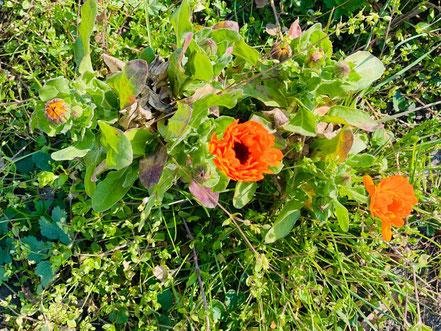 Ringelblumen auf der Verkehrsinsel (Foto: 04-2020, Jens Schmidt)