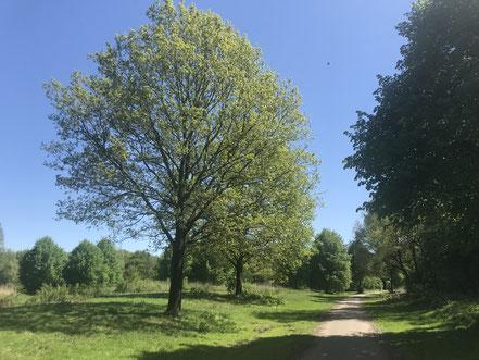 Baum am Krimpelsee in Bremen-Habenhausen