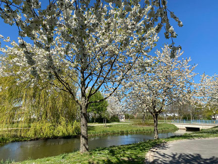 Blühende Bäume an den Fletten im Neubaugebiet Arsten Südwest (Foto: 04-2020, Jens Schmidt)