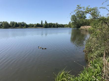 Entenpaar auf dem Krimpelsee in Bremen-Habenhausen