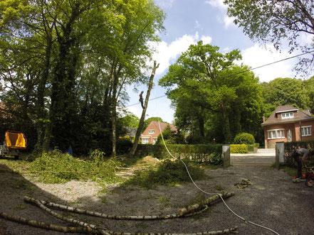 Abattage d'un bouleau à Charleroi