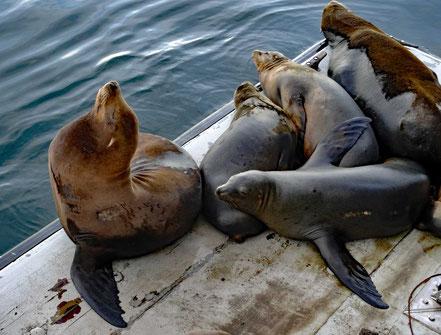 Motoglobe Motorradreisen. Fünf Seelöwen liegen und Sitzen auf einer Holzplatte gleichen neben dem Meer.