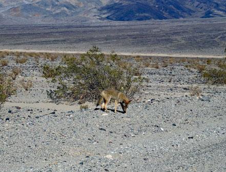 Motoglobe Motorradreisen. Von der Strasse aus ist ein Koyote zu sehen.