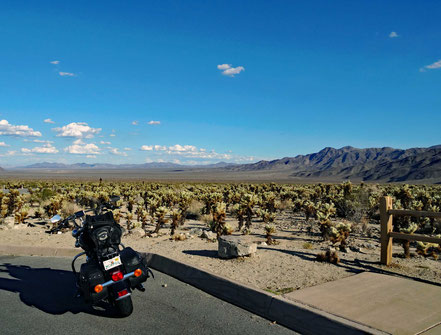 Motoglobe Motorradreisen. Die Heritage steht am Strassenrand und im Hintergrund hat es unzählich Yucca Gewächse, Joshua Tree, , welche in einer riesigen Wüstenebene stehen.