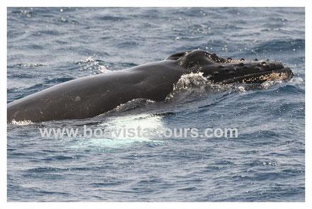 Buckelwal Baby taucht auf vor Boa Vista auf der Whale Watching Tour mit Boa Vista Tours