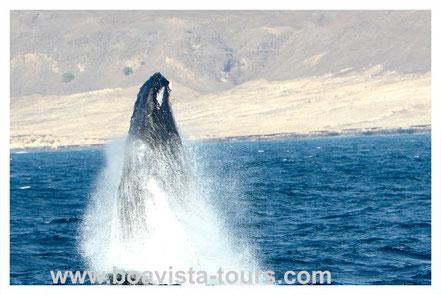 springender Buckelwal vor Boa Vista auf der Whale Watching Tour mit Boa Vista Tours