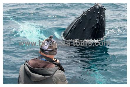Spyhopping eines Buckelwals vor Boa Vista auf der Whale Watching Tour mit Boa Vista Tours