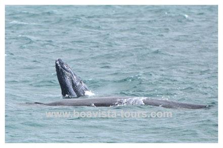 Buckelwal Baby und Mama tauchen auf vor Boa Vista auf der Whale Watching Tour mit Boa Vista Tours