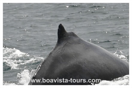 Rückenflosse eines Buckelwals vor Boa Vista auf der Whale Watching Tour mit Boa Vista Tours