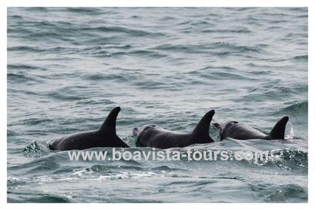 Gruppe von Rauhzahndelfinen vor der Küste Boa Vistas auf einer Bootstour mit Boa Vista Tours