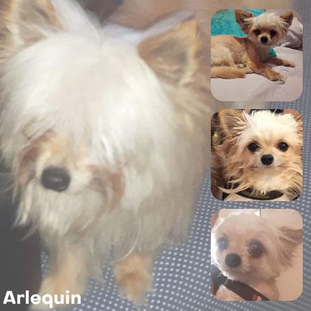 ARLEQUIN adopté en Septembre 2017