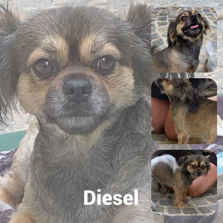 Diesel Adopté en Aout 2020