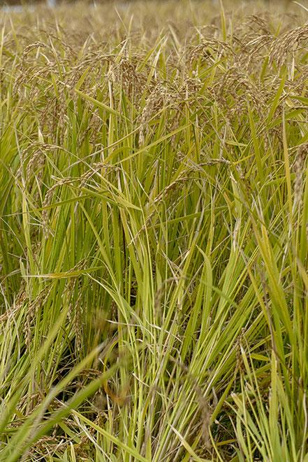 熟しきり、稲刈りを待つだけの山田錦。ここ田名望地河原で作られた米だけのお酒も販売されている。