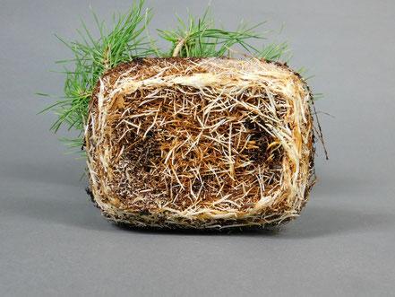 Durchwurzelter Wurzelballen einer Schwarzkiefer Pinus thunbergii