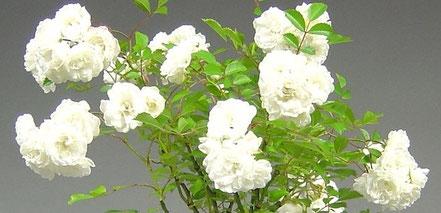 Blüten einer Rose, Rosa
