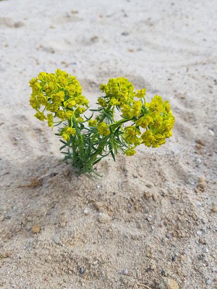 Zypressen-Wolfsmilch auf einer abgemagerten Sandfläche.
